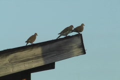 Doves on top of wood plank Stock Footage