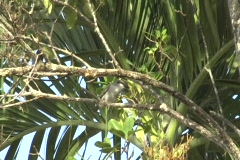 Pitirre - Gray Kingbird 1 Stock Footage