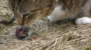 Stock Video Footage of Cat eat mouse