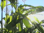 Stock Video Footage of corn
