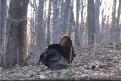 Wild Turkey  strutting Stock Footage