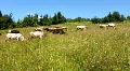 Livestock HD Footage
