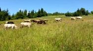 Livestock Stock Footage