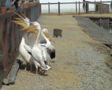 Pelicans - stock footage