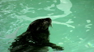 Stock Video Footage of See The Sea Lion Swim