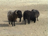 Stock Video Footage of Rams