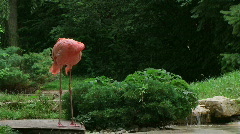American Flamingo Mating Ritual Stock Footage
