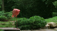 Stock Video Footage of American Flamingo Mating Ritual