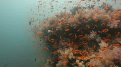 Soft coral reef with many orange fish Stock Footage