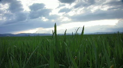Field of wheat in a cloudy day Stock Footage