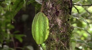 Stock Video Footage of A wild Cocoa species (Theobroma sp.)