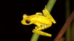 Gunther's banded treefrog (Hypsiboas fasciatus) Stock Footage