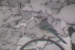 Blizzard BlueJay Stock Footage