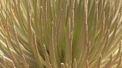 Silversword plant, rare, Hawaii, zoom, high altitude Stock Footage