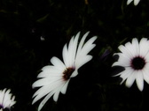 High Speed Camera Flowers Daisy 02 SteadyCam Slow Motion x7 VJ Loop Stock Footage
