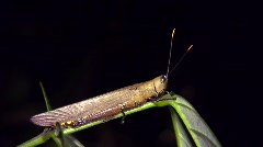 Amazonian grasshopper Stock Footage