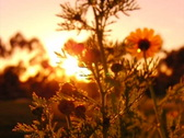 Stock Video Footage of High Speed Camera Flowers Sunset 04 SteadyCam Slow Motion x7