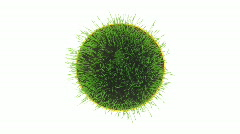 Time-lapse of growing decorative Easter grass isolated on white 2 - stock footage