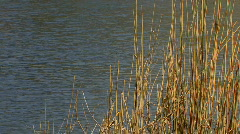 Windy weather. Rush, cane, reed - stock footage