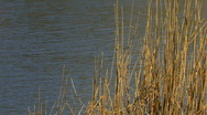 Windy weather. Rush, cane, reed Stock Footage