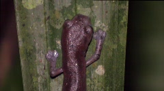 Ecuadiorian Climbing Salamander (Bolitoglossa ecuatoriana) Stock Footage
