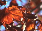 Fall leaves - NTSC Stock Footage