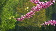 Stock Video Footage of american redbud tree