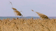 Windy weather. Field of rush, cane, reed. Steppe. Stock Footage