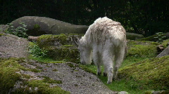 Mountain Goat Stock Footage