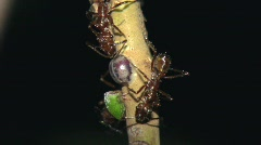 Spectacular example of multiple insect symbiosis in the Amazon Stock Footage