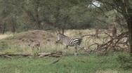 Stock Video Footage of zebra herd