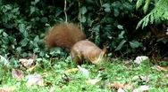 Stock Video Footage of The red squirrel