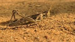 Grasshopper walks by - stock footage