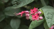 Stock Video Footage of pink african flower