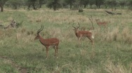 Stock Video Footage of male antelope