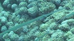 Cornetfish swimming Stock Footage