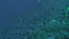 Shoal of unicornfish Stock Footage