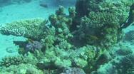 Group of anthias Stock Footage
