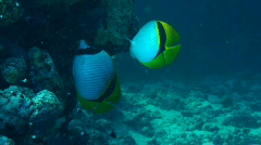 Butterflyfish - stock footage