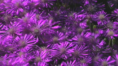 Purple Flower Ground Cover Stock Footage