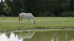 Palomino Horse Grazing Stock Footage