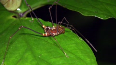 Giant harvestman - stock footage