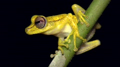 Gunther's banded treefrog (Hypsiboas fasciatus) - stock footage