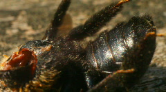 t179 zombie bee dead bumble bee dying die insecticide - stock footage