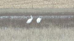 P00931 Whooping Cranes in Nebraska Wetland Stock Footage