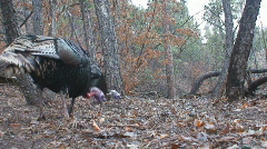 P00937 Wild Turkeys Feeding Ground Level Stock Footage
