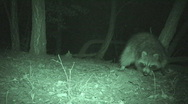 Stock Video Footage of P00939 Raccoon Feeding at Night with Infrared
