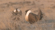 P00943 Sage Grouse Males Stock Footage