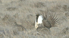 P00945 Closeup of Male Sage Grouse and Females Stock Footage