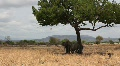 Elephants Under Tree Shade in Tanzania Footage